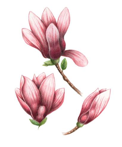 pic-magnolias